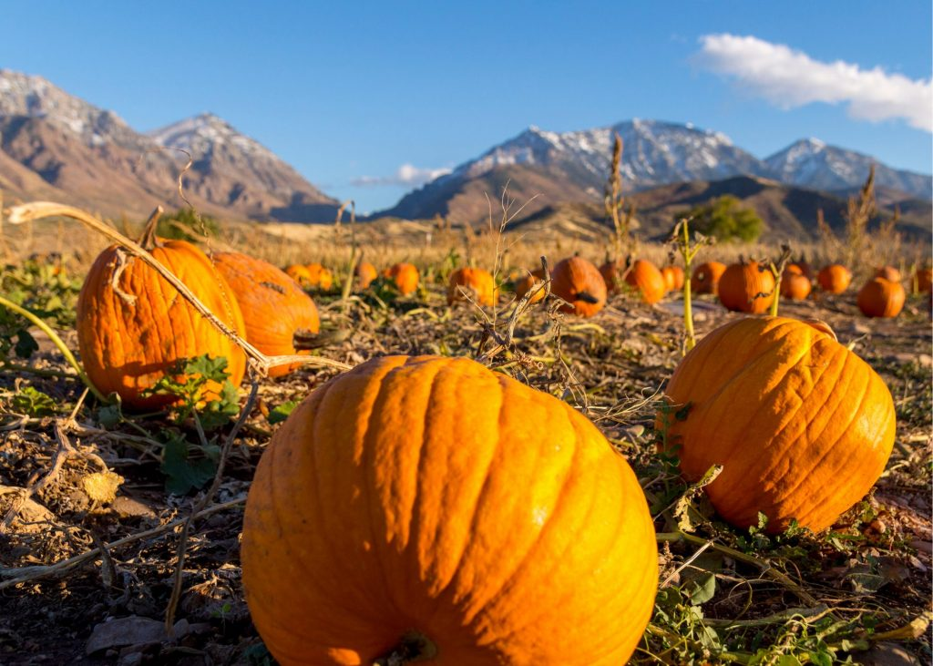 Pumpkins in a pumpkin patch during the fall in Colorado with mountains in the background